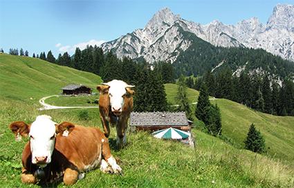 Litzlalm im Berchtesgadener Land mit zwei Kühen aufgenommen von Michael Thormann